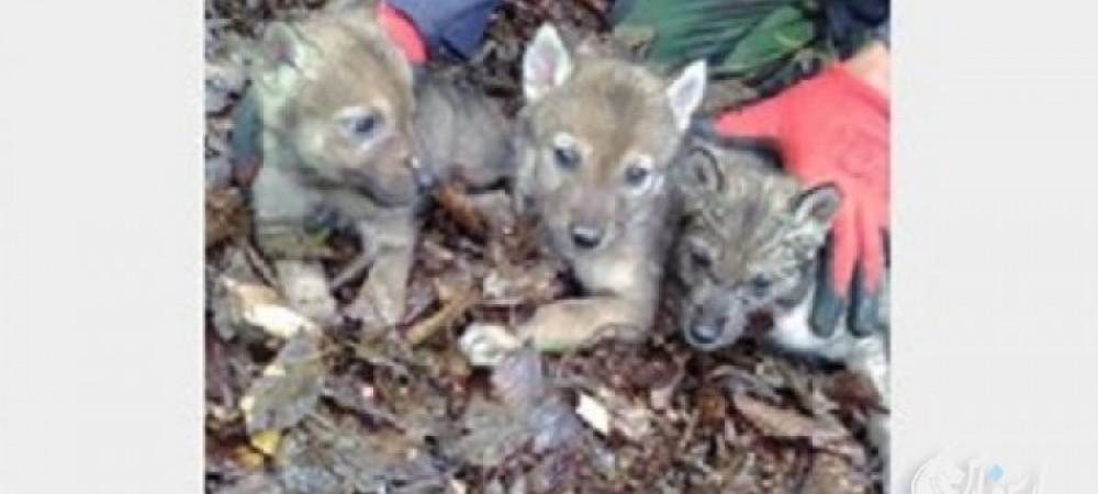 3 توله گرگ به سازمان محیط زیست منتقل شدند