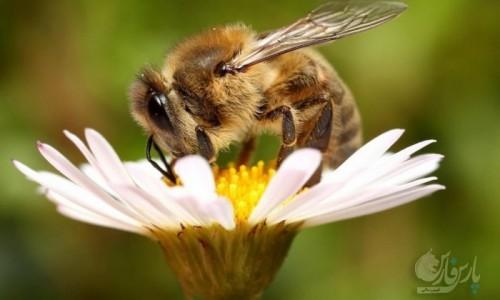 قاچاقچیان به زنبورعسل هم رحم نکردند/ملکههای همدان در معرض تهدید