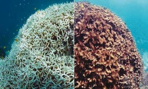 افزایش دمای آب باعث رنگ باختن مرجان های خلیج فارس شده است