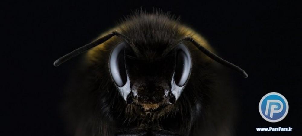 زنبور سیاه وحشی ؛ شکارچی مخوف طبیعت