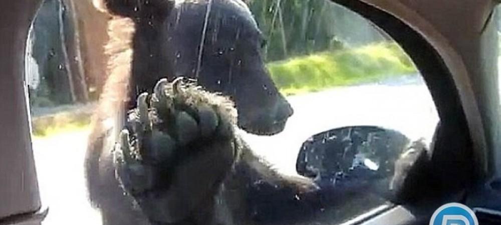 خارج شدن خرس عجول از خودروی زوج جوان